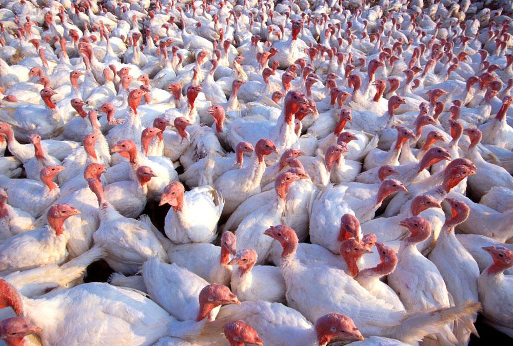 turkeysantibiotic