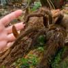 goliath spider 2