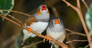Taeniopygia_guttata_-Bird_Kingdom,_Niagara_Falls,_Ontario,_Canada_-pair-8a