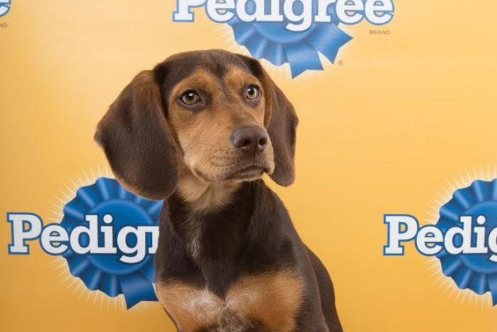 maggie puppy bowl beagle mix