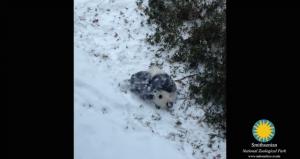 panda snow