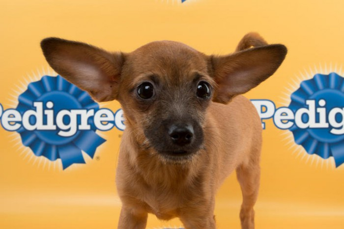 steve puppy bowl chihuahua mix
