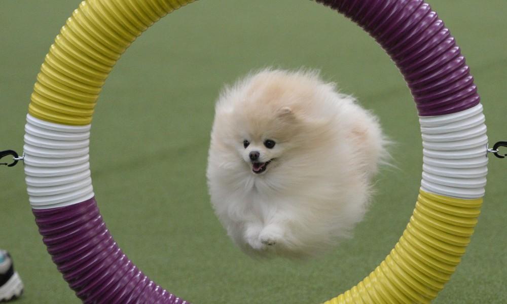 US-ANIMAL-DOG-WESTMINSTER