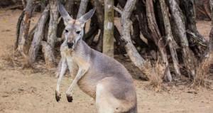 kangaroo-mcdonalds.0.0