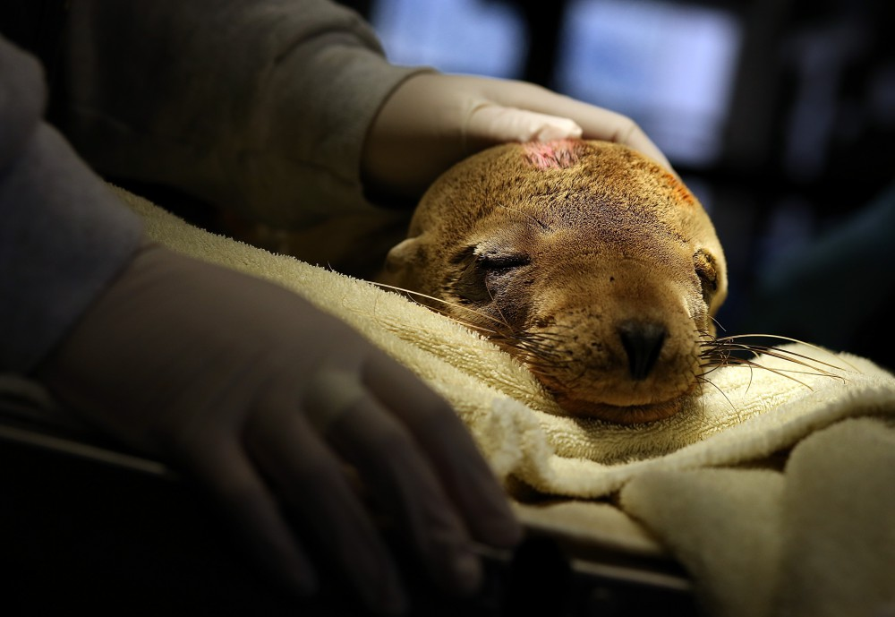 Starving Sea Lions Washing Up On California Beaches