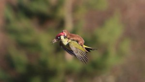 weasel woodpecker