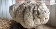 sheep yo