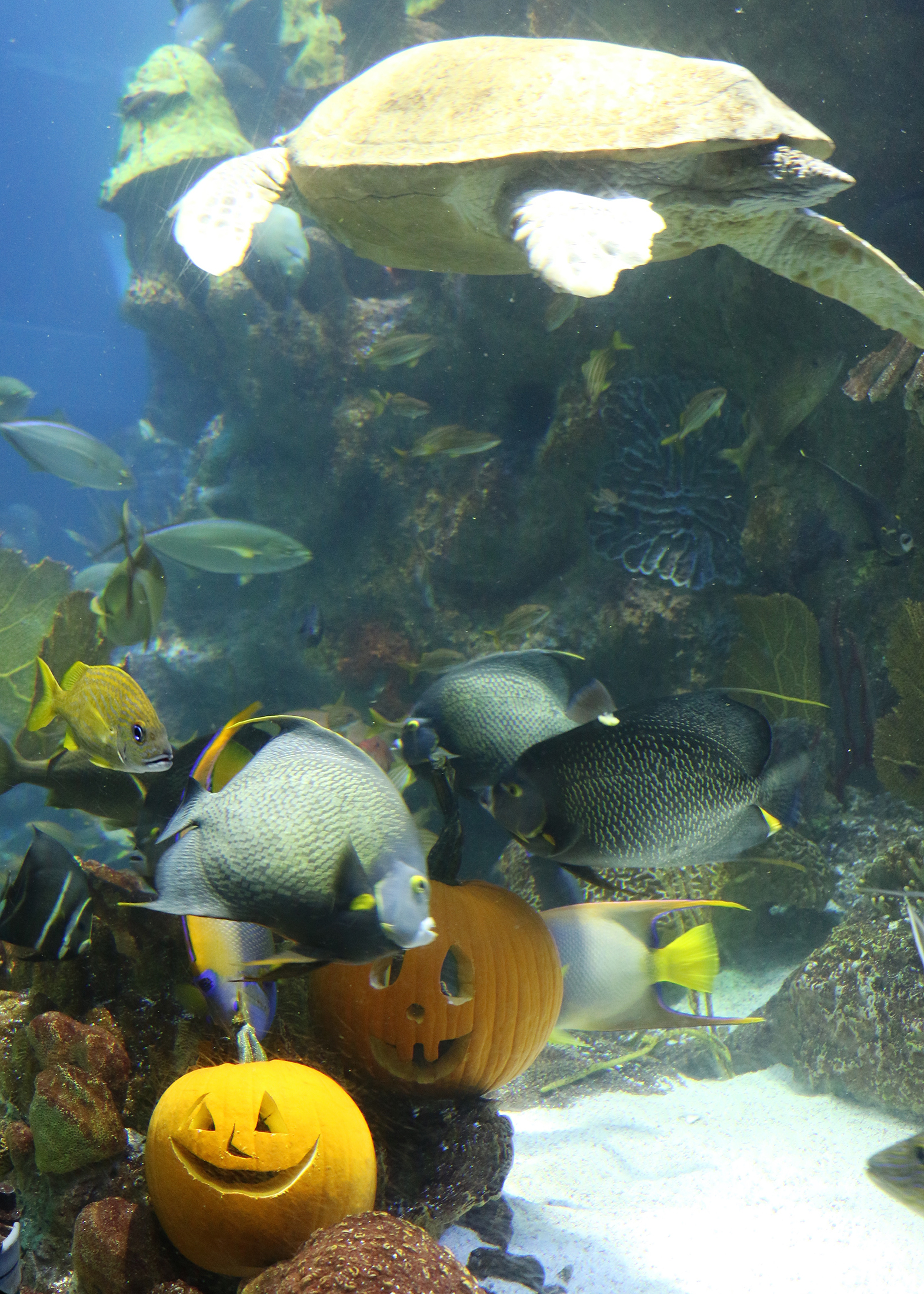 Fish in new aquarium - Neaq_halloween_gotpumpkin5
