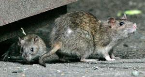 ratscambridge