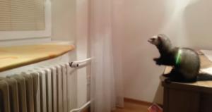 ferret jump