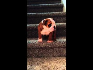 English Bulldog puppy conquers the stairs