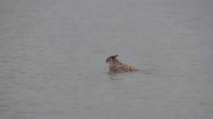 Great Horned Owl Doing Breast Stroke