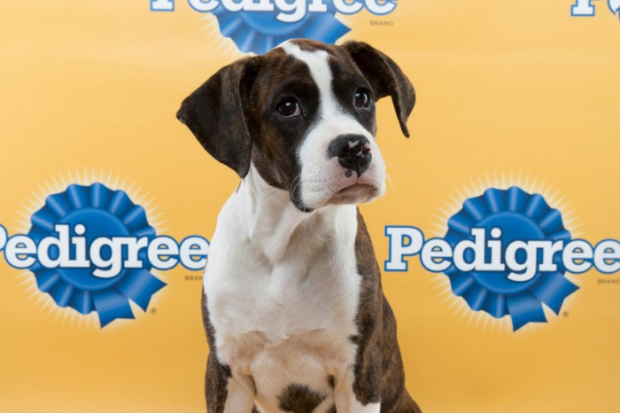 aaron-puppy-bowl boxer mix