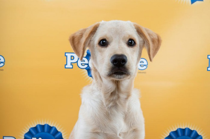 dougie puppy bowl lab retriever mix
