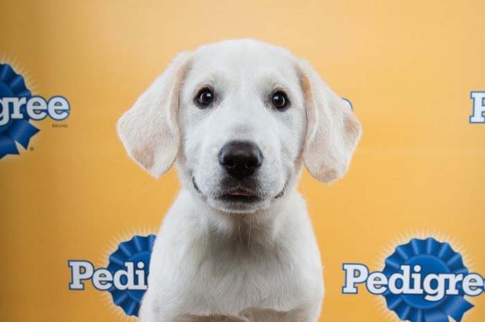 faulkner puppy bowl great pyrenees mix