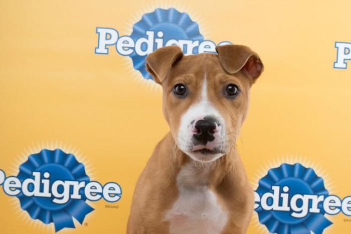 jamison puppy bowl pit bull terrier mix