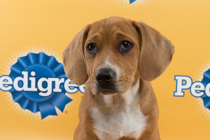 kojak puppy bowl beagle mix