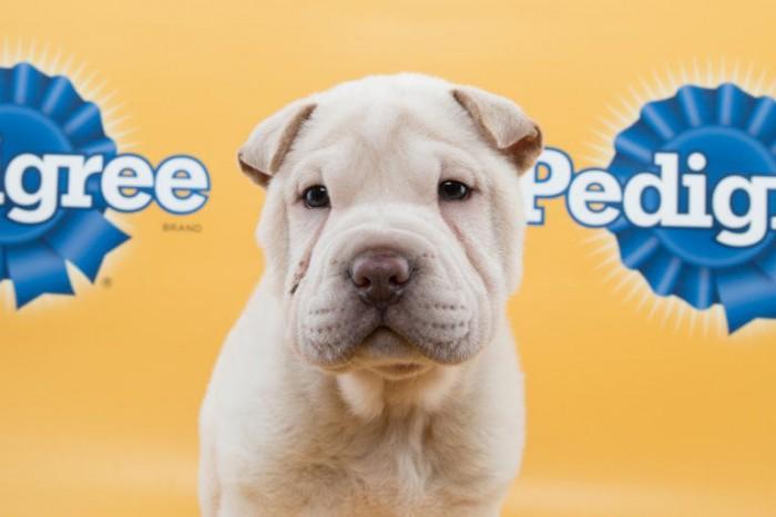 lewis puppy bowl shar pei