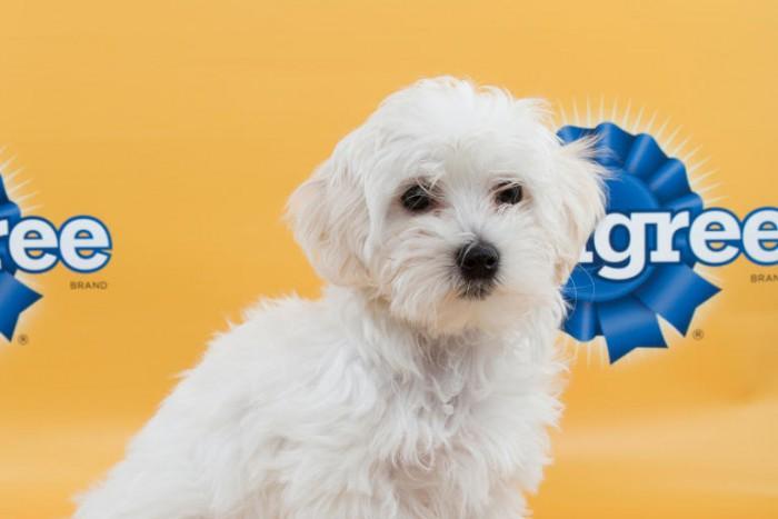 lorelai puppy bowl maltese poodle mix