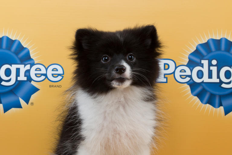 panda pomeranian the 29 cutest puppies from this year s puppy bowl bdcwire 7968