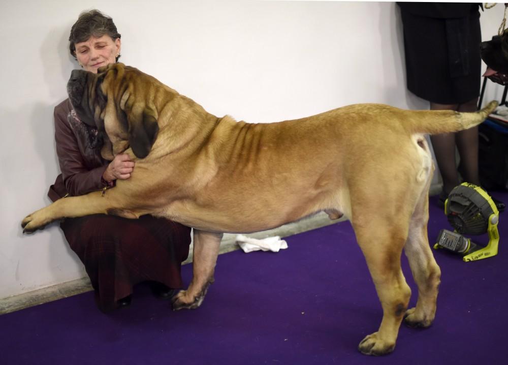 Mastiff Westminster Dog Show Agility